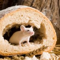 Cel mai bun mod de a lupta împotriva șoarecilor