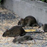 Boli grave transmise de șobolani
